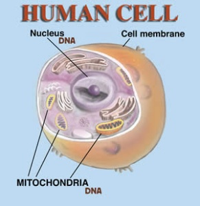 human-cell